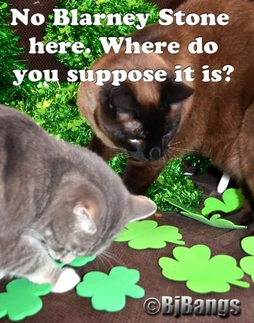 Cats looking for the Blarney Stone this St. Patrick's Day