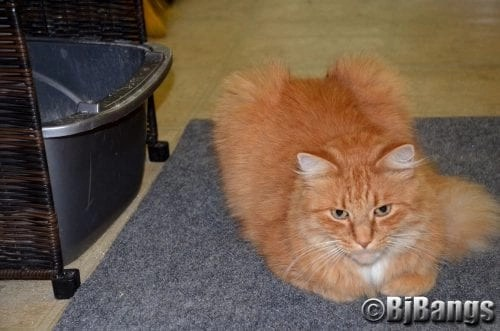 Litter box issues unique for long haired cats