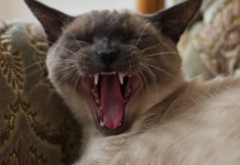 Siamese Cat yawning and talking about August Cat Holidays