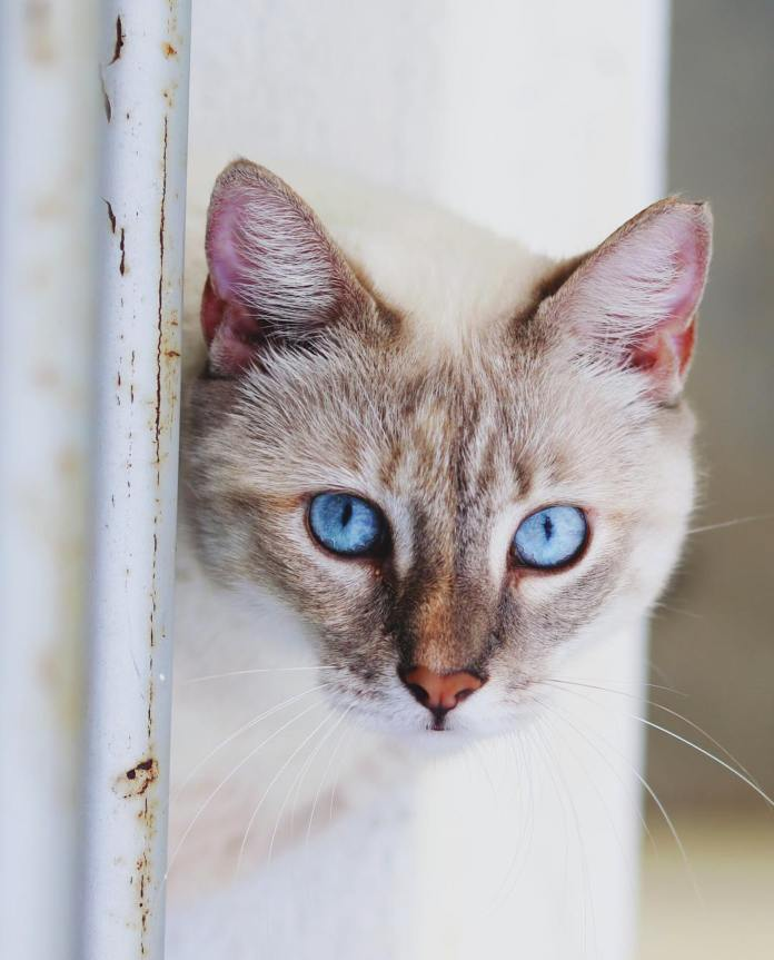 Picture of one of the many colors of Siamese Cats