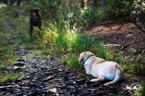 Labrador, gul och brun| Fotograf Borås: Mattias Björlevik