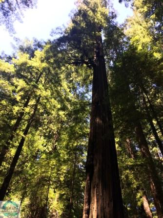 Redwood Bäume