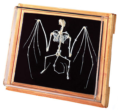 A Chinese Pipestrelle Bat Skeleton. One of the most comonly sold bat specimens. Chinese Pipistrelle or Pipistrellus pulveratus is listed on the IUCN Red list (1996) of Threatened Species.