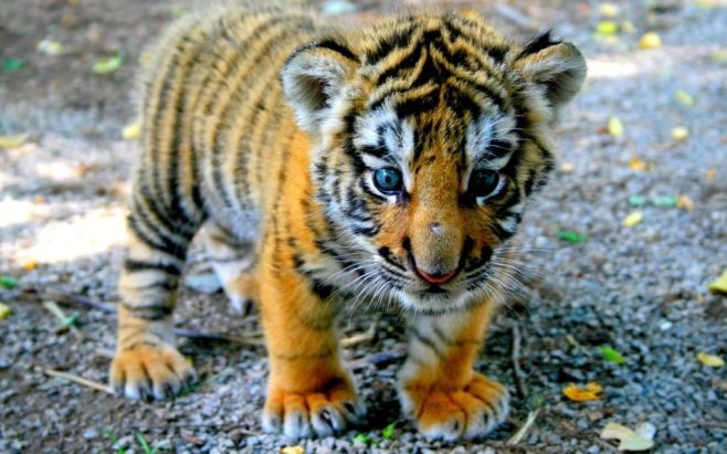 baby-tiger-cub