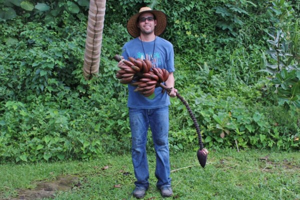 me holding a beautiful bunch of red bananas - avocados bananas puerto rico