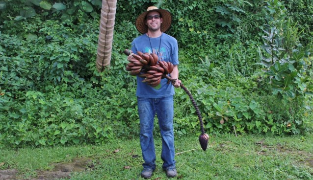 me holding a beautiful bunch of red bananas - avocados bananas puerto rico