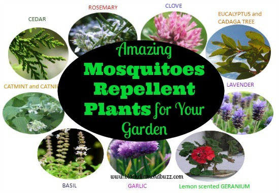 10 Amazing Mosquito Repellent Plants – Mosquito Repellent Plants for Your Garden
