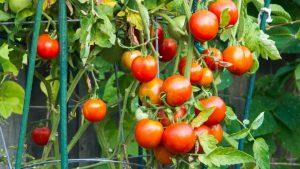 12 Most Insanely Uses of Epsom Salt for the Garden