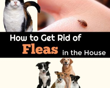 How To Get Rid of Fleas Fast : in Your Home and on Pets Naturally