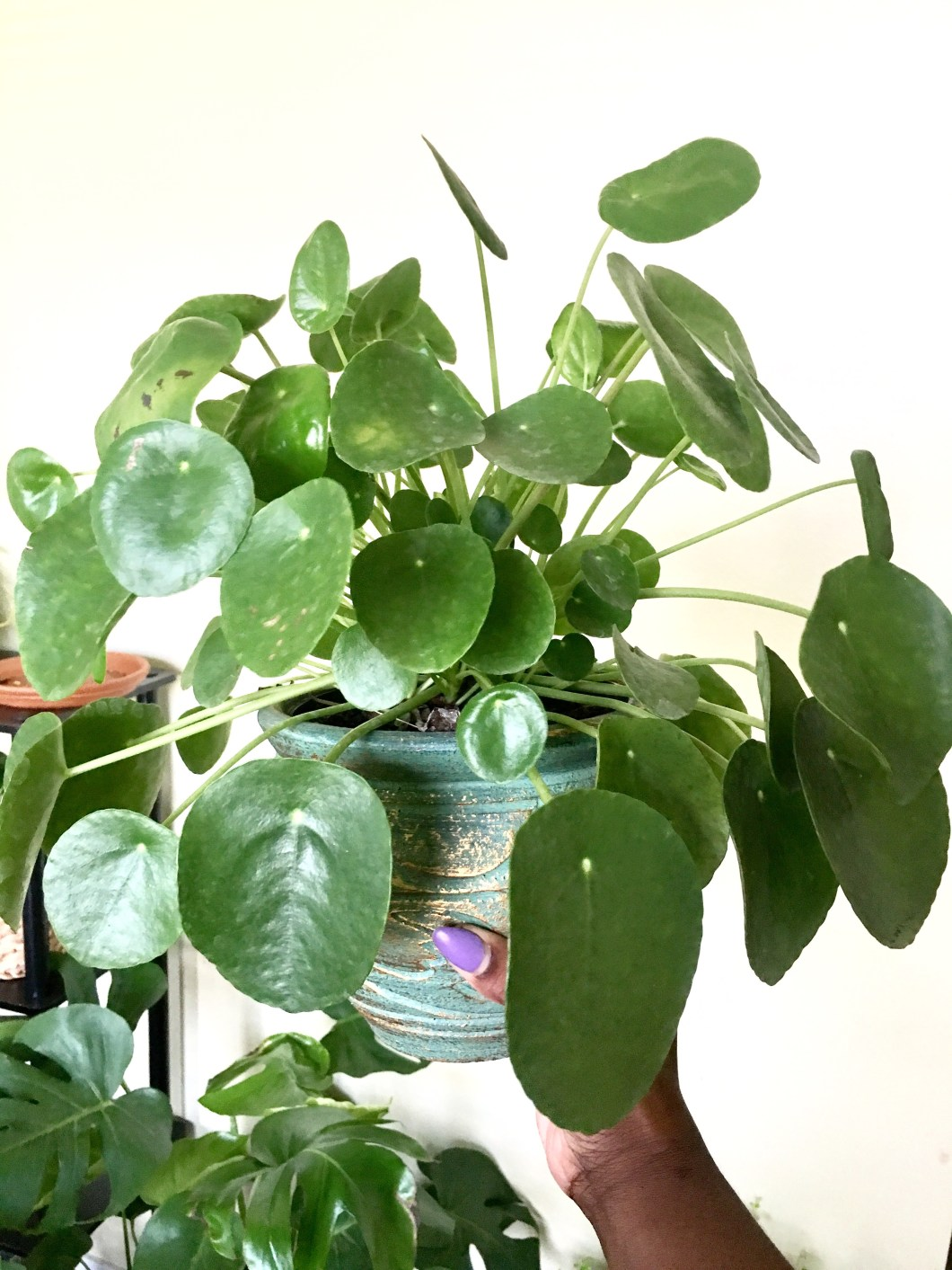 how to care for a pilea peperomioides chinese money plant black girls with gardens how to care for a pilea peperomioides