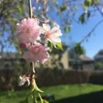 Weeping Cherry Tree-inBloom-0048
