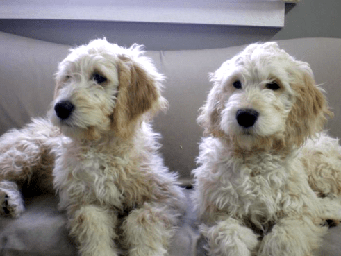 ... & Dogs for Sale in Michigan (F1)   Black Mountain Goldendoodles