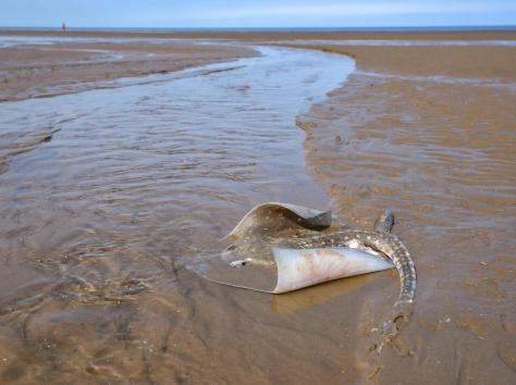 A thornback ray was found stranded on Blackpool's central beach this week, alongside a dogfish - a small species of shark. Picture: Daniel Martino/JPI Media