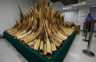 A security guard stands next to confiscated ivory which will be destroyed at a chemical waste treatment center in Hong Kong Thursday, May 15, 2014. Hong Kong has started incinerating its nearly 30-ton stockpile of confiscated ivory to show it's serious about cracking down on an illegal wildlife trade that is devastating Africa's elephant population. Authorities on Thursday destroyed the first batch by burning a metric ton of elephant tusks in a rotary kiln. Destroying the stockpile, which is one of the world's biggest, is expected to take up to two years.  (Kin Cheung/AP)