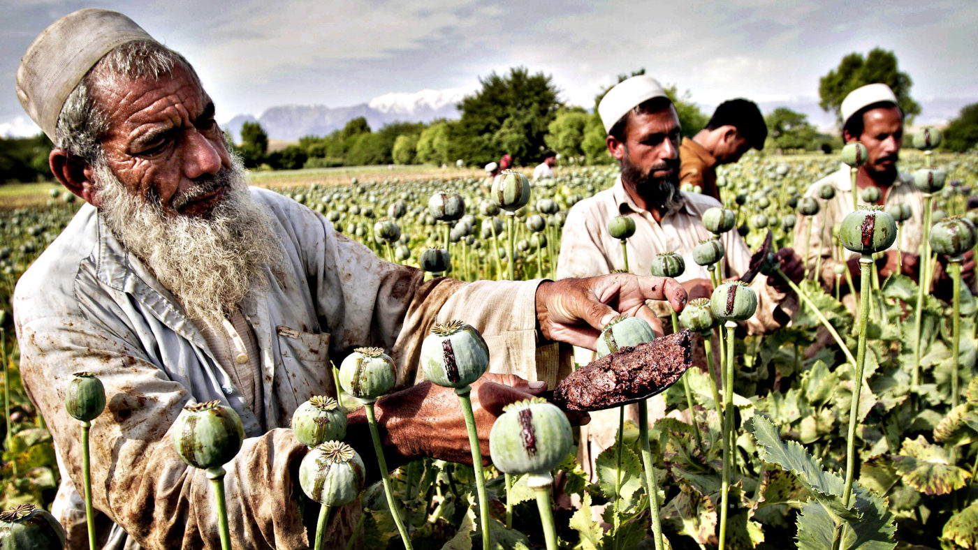 Afghan farmers collect raw opium as they work in a poppy field i