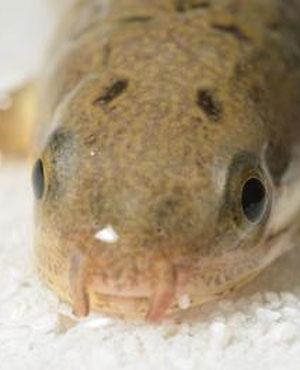 Polypterus senegalus. (Photo: Morin, Standen, Larsson)