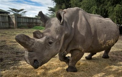 In this photo taken Monday, Dec. 1, 2014, female northern white rhino Najin walks in her pen where she is being kept for observation at the Ol Pejeta Conservancy in Kenya. The keepers of three of the last six northern white rhinos on Earth said Wednesday, Dec. 10, 2014 that it is highly unlikely the three will ever reproduce naturally, with recent medical examinations of them showing the species is doomed to extinction, unless science can help. (AP Photo/Ben Curtis)
