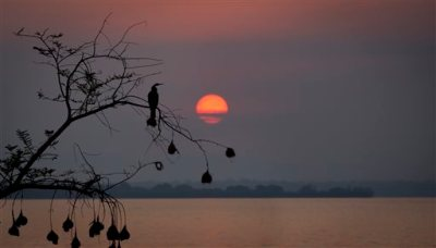 In this Monday, Sept. 7, 2015 file photo, a cormorant perches on a tree, from which hang the nests of weaver birds, as it looks out across Lake Ihema in search of fish to catch at dawn in Akagera National Park, Rwanda. After the 1994 genocide in Rwanda, returning refugees swept into the park with herds of cattle and wiped out the last lions but now the once-abandoned reserve on the border with Tanzania is drawing more tourists, reducing poacher incursions and getting local villagers more involved in conservation - it even re-introduced lions this year. (AP Photo/Ben Curtis, File)