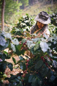hand picking coffee in the wild