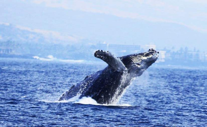 5 Hawaii Whale Watching Tips For An Unforgettable Adventure