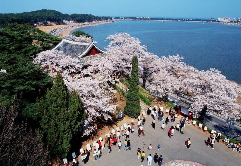 panorama sakura mekar di kota gyeongpo, korea selatan