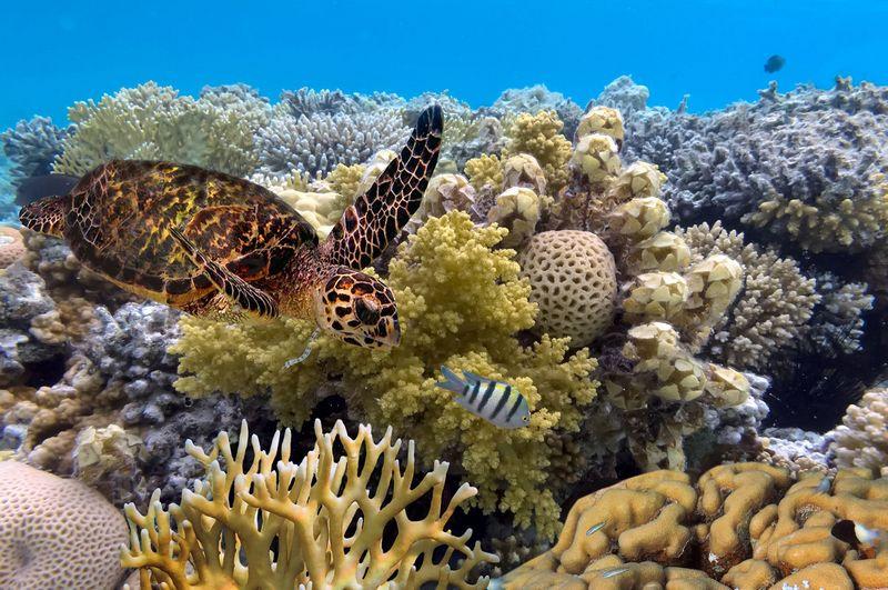 penyu berenang di sela terumbu karang great barrier reef, australia