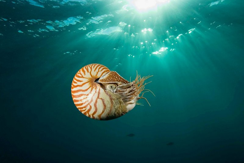 chambered nautilus di great barrier reef, australia