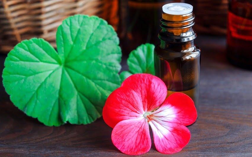 bunga geranium dan minyak atsiri geranium