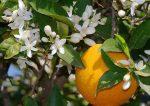 9 Manfaat & Efek Samping Petitgrain Essential Oil (Minyak Petitgrain)