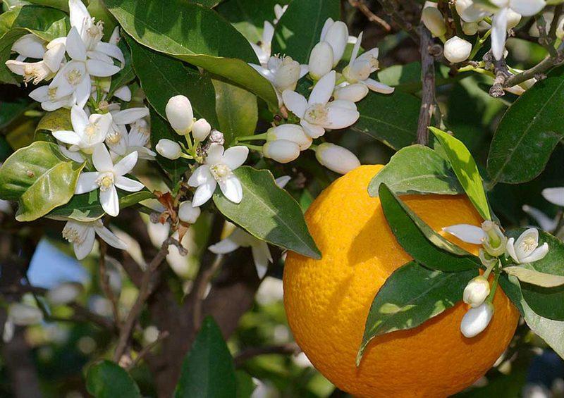 jeruk pahit (Citrus aurantium) untuk bahan baku petitgrain essential oil