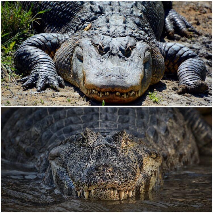 perbedaan moncong alligator vs buaya