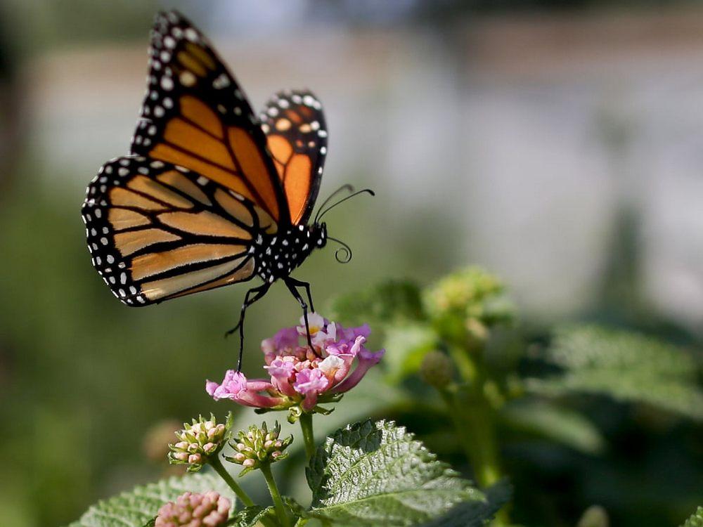 kupu-kupu sedang hinggap di atas bunga