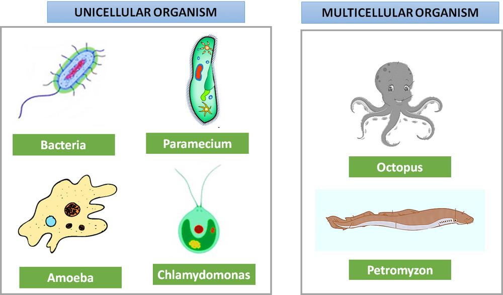 contoh organisme uniseluler dan multiseluler