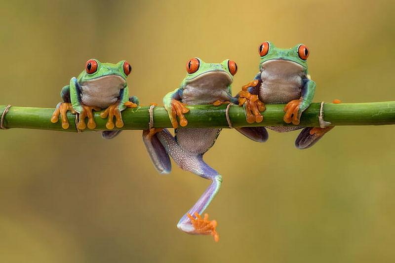 tiga ekor katak bertengger di dahan pohon