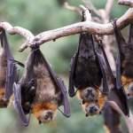 empat ekor kelelawar bergelantungan di pohon