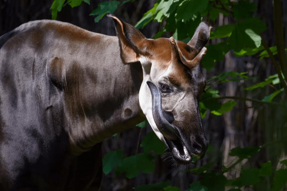 Okapi memiliki lidah panjang