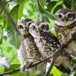 tiga burung hantu bertengger di dahan pohon