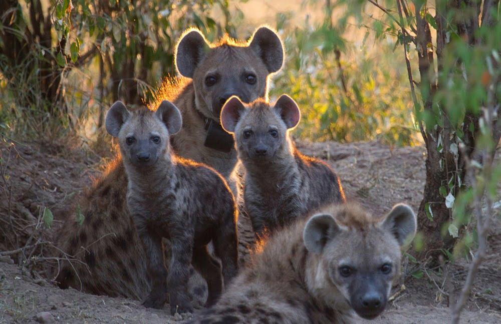 kawanan hyena
