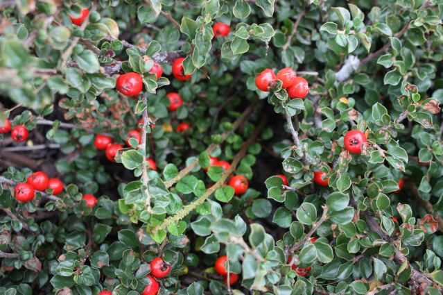 Shrub With Large Red Berries Garden Inspiration