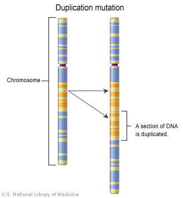 Duplication mutation. Source: U.S. National Library of Medicine