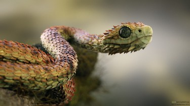 atheris_hispida-17b
