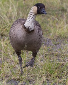 By 1952, only 30 Nene (Hawaiian Goose) survived on the island of Hawaii due to invasive species such as the mongoose.