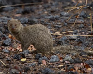 Introducing mongooses to the island did nothing to solve the rat problem.