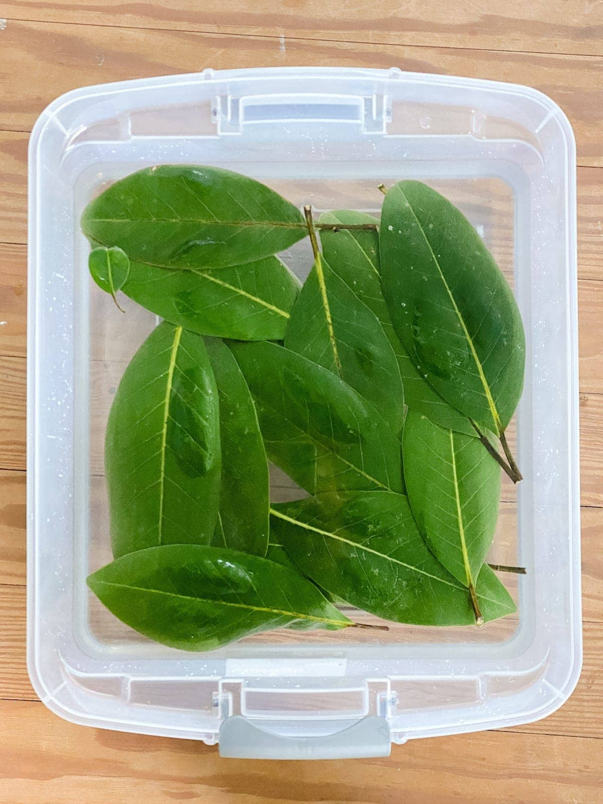 Preserving Magnolia leaves in glycerin for Christmas garlands and wreaths