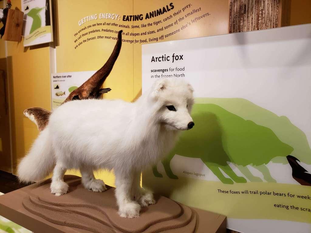 Arctic Fox - Museum of Natural History