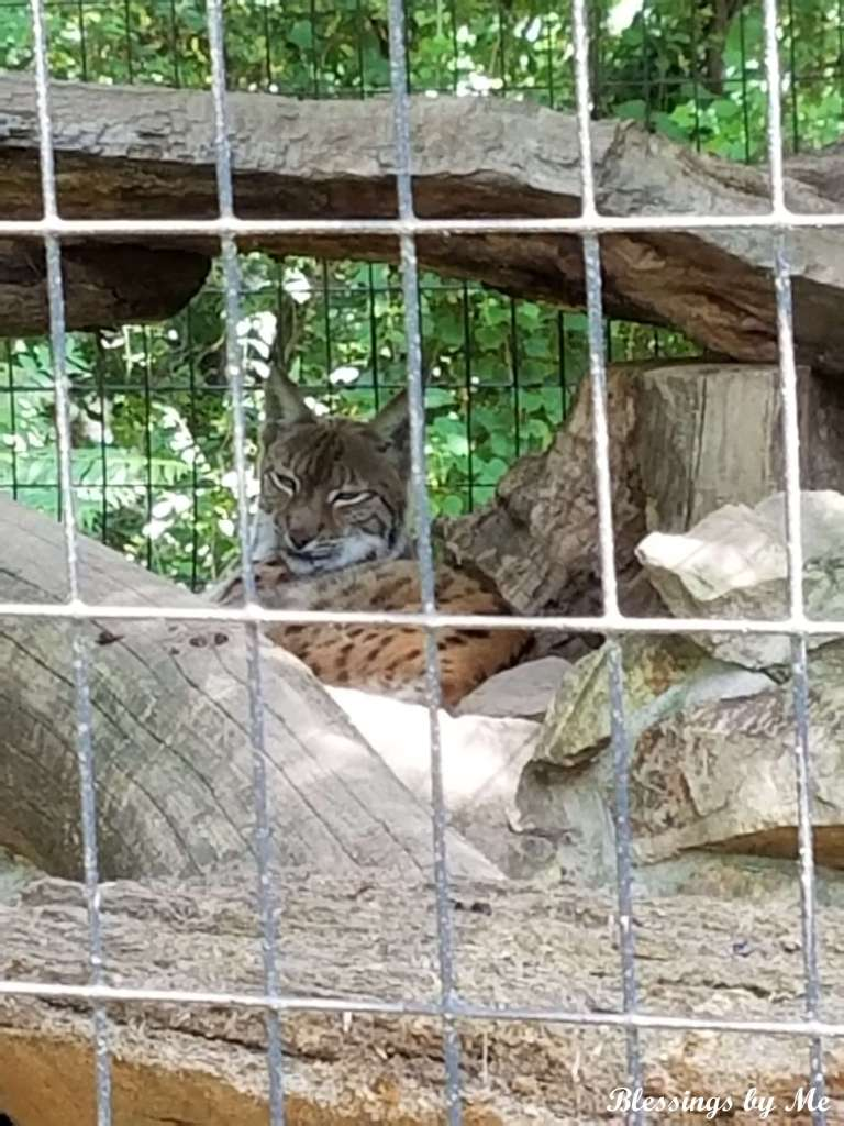 Spotted Cat in the Mill Mountain Zoo