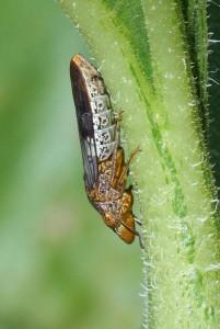 la cicadelle vecteur de la maladie