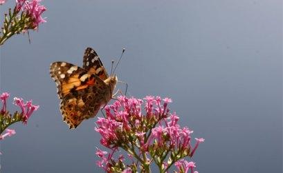 l'Agence va veiller à la présence des papillons