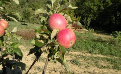 sortie buissonnière aux vergers de pommes