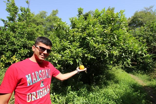 les arbres à bergamotes